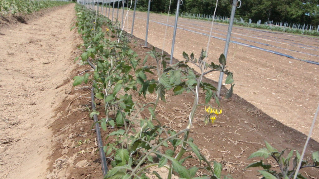 Tomaten in der Reihe