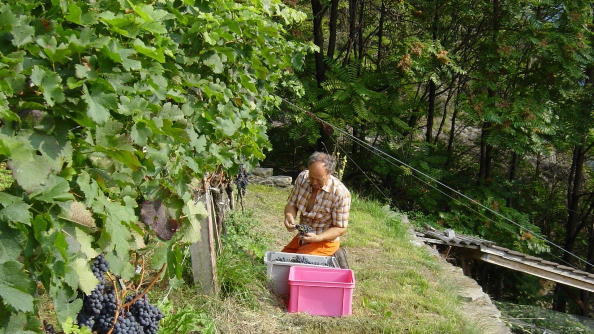 Werner Bächli bei der Traubenernte