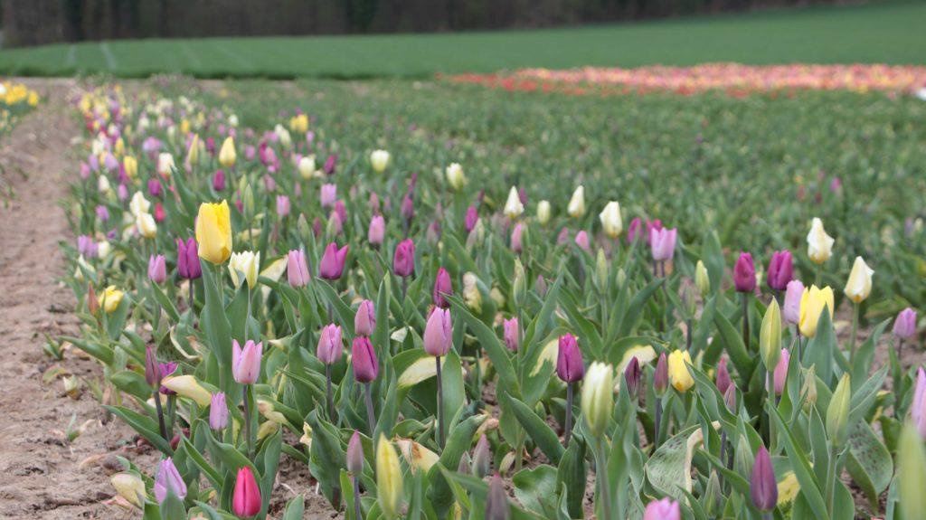 Tulpen Vom Roemerhof