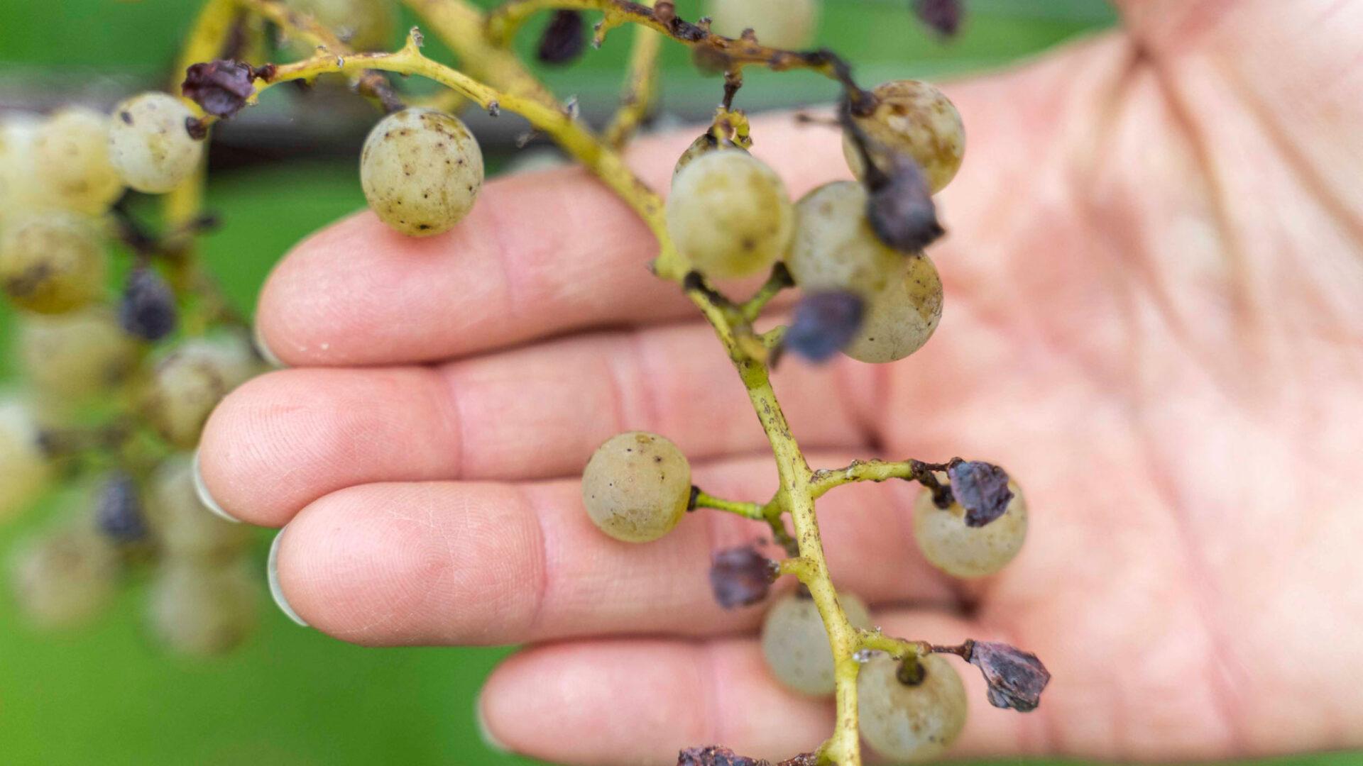 Trauben ohne Pflanzenschutz