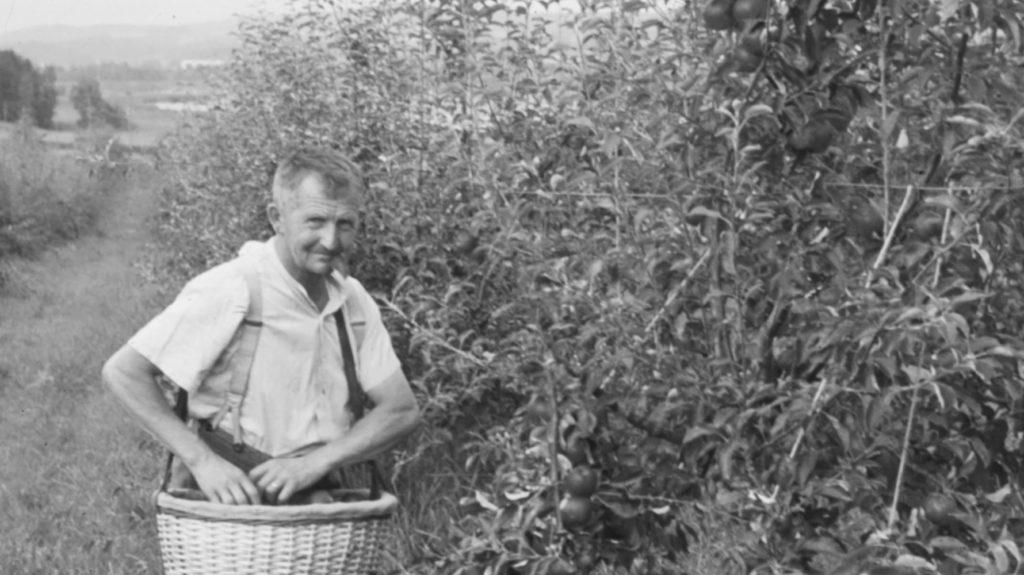Walter Jucker beim Kirschenpfluecken