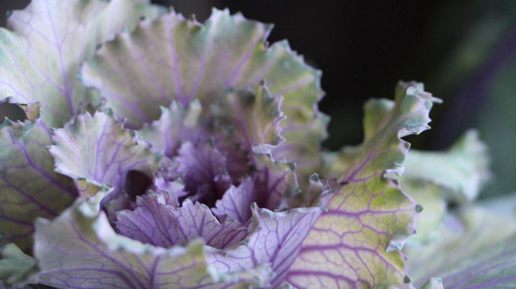 Wintergemüse Zierkohl Violett